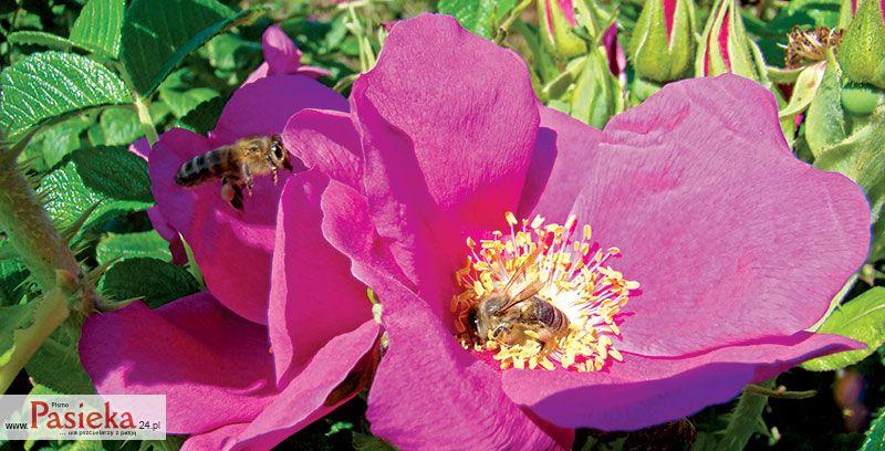 Pasieka - czasopismo dla pszczelarzy z pasją