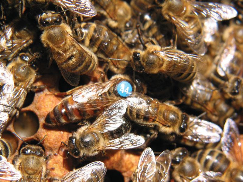 Metody wychowu matek pszczelich