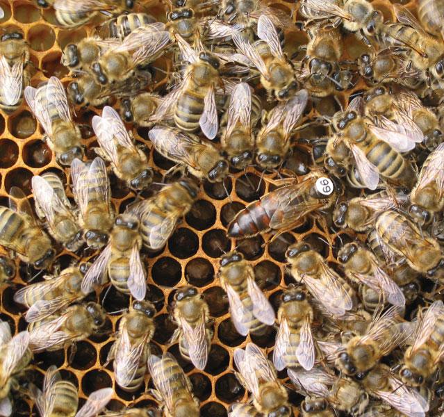 matka pszczela na ramce