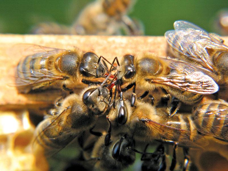 pszczoły na ramce
