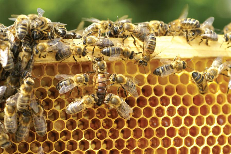 Selekcja pszczół