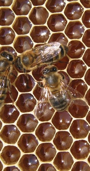 Miodność pszczół