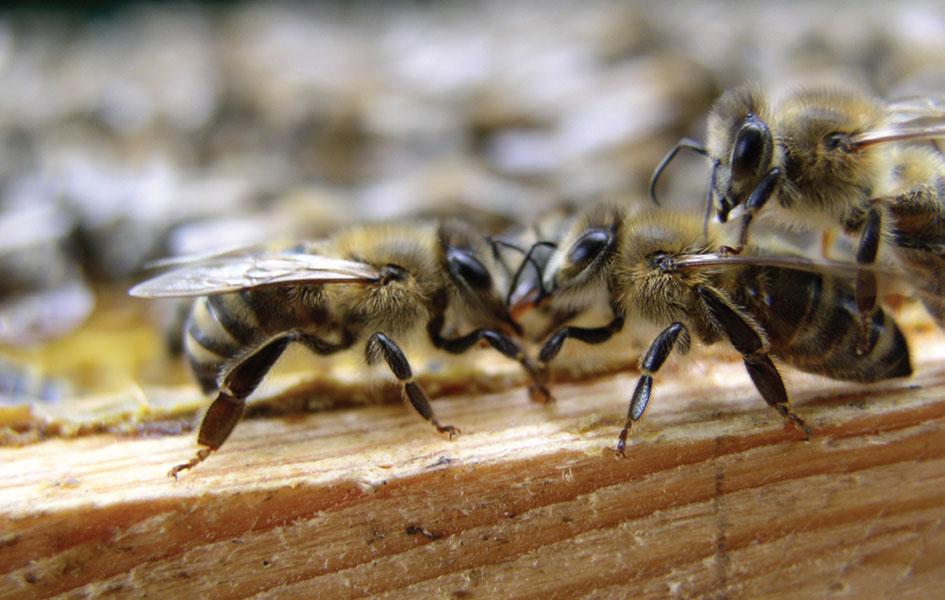 Ocena wartości użytkowej i hodowlanej pszczół