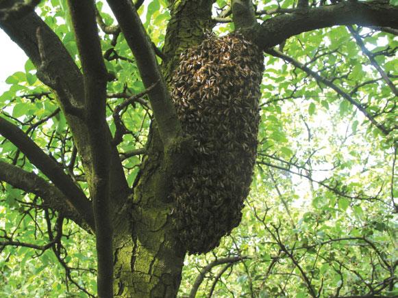 Rójka jest naturalnym sposobem rozmnażania się rodzin pszczelich