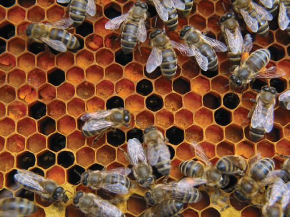 ramka pszczela - pyłek w komórkach