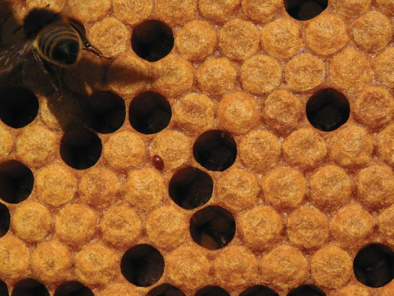 Varroa, warroza