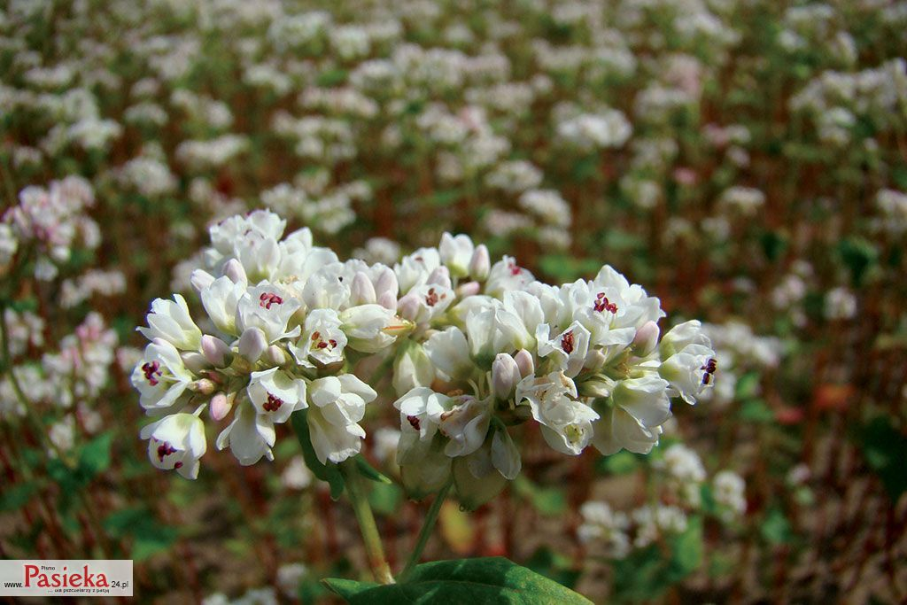 Rośliny Uprawne Dostarczające Pszczołom Pokarmu Późnym Latem